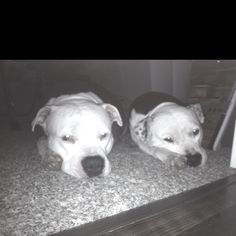 Brothers by #Heart not #blood~~~ two male #Pitbulls under one roof~~