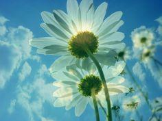 daisies, sky