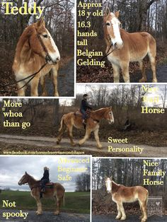 FOUND A NEW HOME  Teddy Approx 18 year old Belgian Gelding 16.3 hands tall More whoa than go Advanced Beginner safe Saved from Slaughter Safe and not spooky Great Family Horse Nice Trail Horse