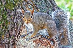 Grey Squirrel   #squirrel #nature #animals #summer #photography #photos #500px