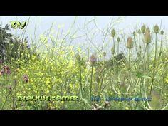 Wageningen: De Blauwe Kamer - Kaardebol - Dipsacus - YouTube