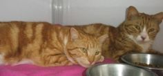 Bert & Ernie is an adoptable Tabby - Orange Cat in Alexandria, VA. We're Back! We are Bert & Ernie, brothers who first arrived here on 3-18-10 after our owner relinquished us because of too many cats ...