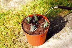 Ako rozmnožiť levanduľu 6 Planter Pots, Gardening, Flowers, Plants, Outdoor, Ideas, Gardens, Janus, Garten