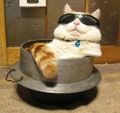 Okay, this cat is very cute. Body fat, broad face covered with sunglasses bigger than his face. Looks very adorable cat though quite arrogant. Anybody want to keep him? Uuuuwwww...Cutee cutee....