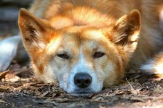 Did you know Dingoes are naturally shy with a wild and independent nature, behaving more like cats than domestic dogs?