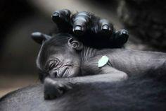Un baby Gorilla è nato allo Zoo di Francoforte