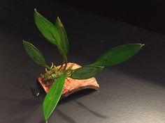 Aridarum Caulescens Plant Leaves, Nature, Plants, House, Naturaleza, Home, Plant, Nature Illustration, Off Grid