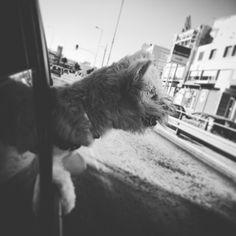 Westie highland terrier