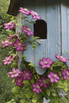 Birdhouse Pink Clematis