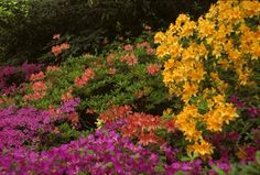 Pruning Shrubs Correctly - Azaleas should be pruned lightly after they bloom in spring.