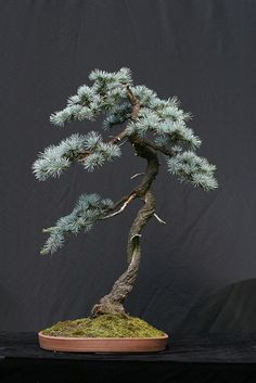 Blue Atlas Cedar Bonsai - Mine is twenty five years old and stands about four feet high a touch bigger than this little specimen