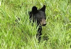 Black bear cub hiding in tall grass in the Smoky Mountains