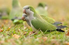 Quaker Parrot by David Cutts