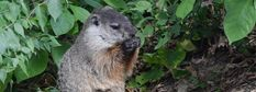 5 Natural Ways to Instantly Get Rid of Groundhogs Get Rid Of Groundhogs, Natural Home Remedies, Simple House, How To Get Rid, Nature, Naturaleza, Outdoors, Natural, Mother Nature