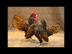 Beauty of Heritage Chickens video - This is a compilation of images taken of a variety of heritage breeds   The Livestock Conservancy (gorgeous birds!)
