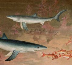 Antique Print Blue Shark Prionace glauca Game Fish Over 100 Years Old Color Lithograph Chromolithograph