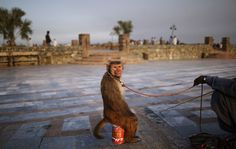 A trained monkey looks back while sitting on a can next to his owner as they wait for customers to perform to in a park in Islamabad, Pakistan, Wednesday, July 11, 2012. AP / Muhammed Muheisen
