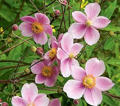 japanese anemone, full-part sun, blooms aug-sept, fast growing, spreading shrub (2-5') Driveway garden??