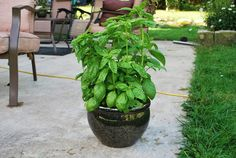 Growing Herbs in pots  I love fresh herbs. Especially Basil. I could probably eat it raw. Well, I guess I do in Caprese salads! Anyway, it's always at the top of my list of herbs to grow. I use it so much that in addition to growing it in my garden (to dry), I also grow it in a pot on the patio right outside my kitchen.