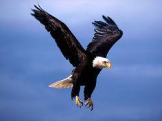 Águila calva - Vuelo temible.