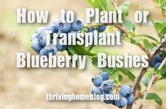 How to Transplant Blueberry Bushes.transplant in fall Blueberry Tree, Blueberry Farm, Fruit Garden, Edible Garden, Vegetable Garden, Planting Blueberry Bushes, Growing Blueberries, Blackberries, Tree Care