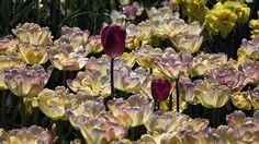 Longwood Gardens, Spring Garden, Tulips, Mood, Flowers, Plants, Plant, Royal Icing Flowers, Tulip