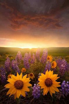 Sunflowers and bluebonnets