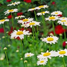Shasta Daisy:Shasta daisy's simple cheery flowers, with a sunny yellow center surrounded by crisp white petals, are perfect for creating a ton of garden charm. We love it because it's more than just pretty; it's a great cut flower and it attracts butterflies all summer long. Plant Name: Leucanthemum x superbum Growing Conditions: Full sun or part shade and well-drained soil Size: To 3 feet tall and 1 foot wide