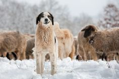 Google Image Result for http://cdn.c.photoshelter.com/img-get/I0000ZsrbFLeOKZE/s/630/630/dog-and-sheep-11642d.jpg