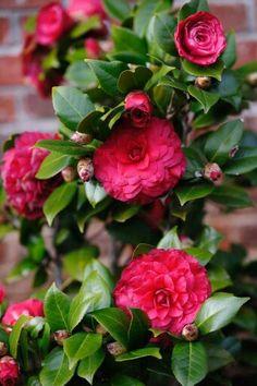 Flores camellia