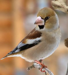 дубонос Hawfinch, Colorful Birds, Sketching, Models, Animals, Templates, Animales, Animaux, Animal Memes