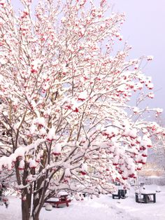 Winter - Mountain Ash tree in my yard. I love the red berries against the white snow. 2014  :)S Rod