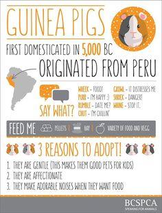 Resultado de imagen para guinea pig pee color