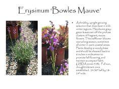 http://www.sierraviewnsy.com/plants/pics/erysimum_bowles_mauve.JPG