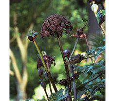 Angelica gigas - White Flower Farm.  Oh my God, I want this !!!