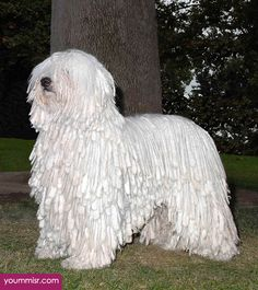 Pictures Komondor Mop 2016 Dogs in Hungarian 2015 Funny WOW videos clips, funny pictures & jokes, Top ten lists Home dogs cats photos clips more… http://www.yoummisr.com/pictures-komondor-mop-dogs-hungarian-dont-see/