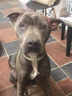 A heartbreaking rescue unfolded in Jones County, Mississipi after a Pit Bull was found in appalling condition. The homeowner who first spotted the injured dog called the Sheriff's Department,who contactedSouthern Cross Animal Rescue (SCAR).