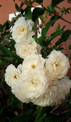 Roses of my garden