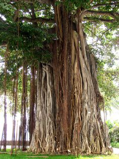 Banyon Tree by Manuel from Cal, via Flickr - I love these.  They were all over in Hawaii