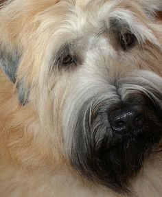 Oscar The Soft Coated Wheaten Terrier | Flickr - Photo Sharing!