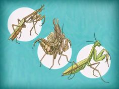 How to Take Care of a Praying Mantis -- via wikiHow.com
