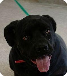 Troy, OH - Cane Corso Mix. Meet Karma, a dog for adoption. http://www.adoptapet.com/pet/17992958-troy-ohio-cane-corso-mix