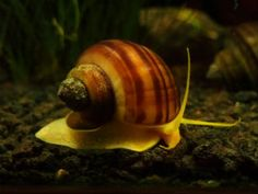 For sale Albino Mystery Snails online. Our snails are safe for fish, shrimp and live aquarium plants and they love to eat algae! They clean aquariums by eating uneaten fish food and other waste. These albino snails can grow to Aquarium Snails, Live Aquarium Plants, Planted Aquarium, Aquarium Fish, Nano Aquarium, Freshwater Plants, Freshwater Aquarium, Sea Snail, Snail Shell