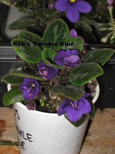 African Violet live plant ROB'S TWINKLE BLUE by Shantiyarnandknits, $2.75