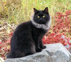 Black cat with a Smoke maine