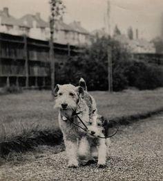 Harry Welsh Terrier (@HarryWeIshie) | Twitter
