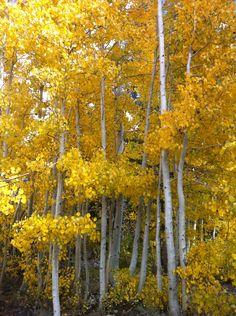 Beautiful Aspens in High Sierras