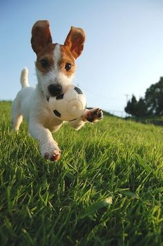 You can't look at this picture and not be happy! Jack Russell Terrier