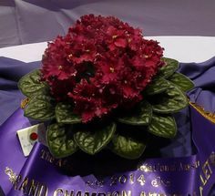 Buffalo Hunt Grand Champion African Violet at the African Violet Association of Australia Show October 2014