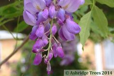 Wisteria sinensis makes a huge beautiful statement with vast quantities of very pretty lilac/lavender pea flowers in long pendant racemes in May and June. The dark green pinnate leaves follow and there is often a small second flush in late summer.